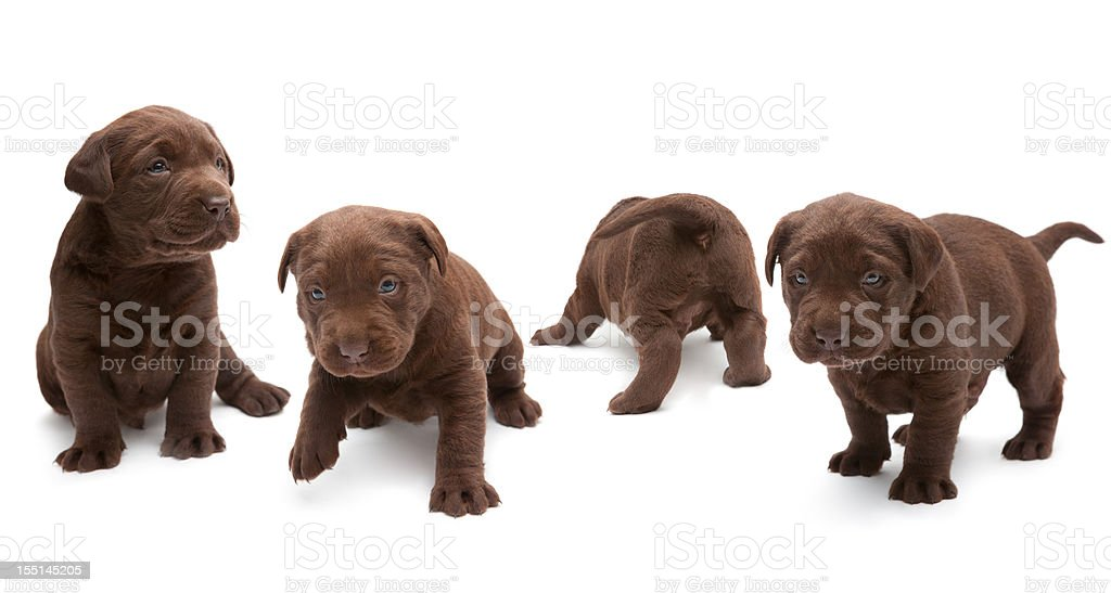 Chocolate Labrador puppies stock photo