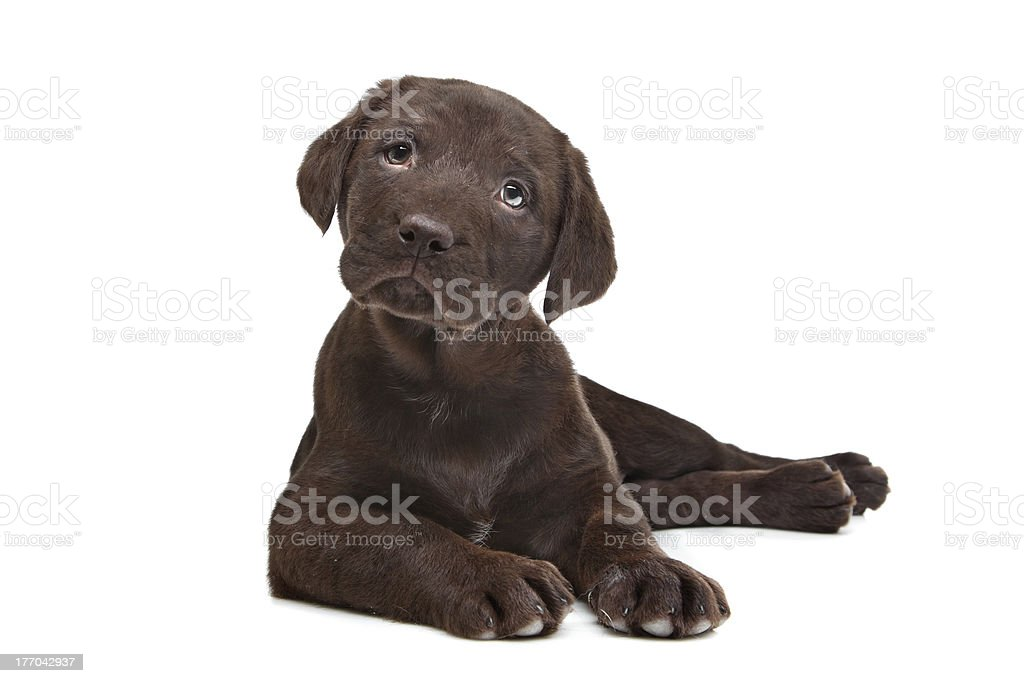 Chocolate Labrador puppy stock photo