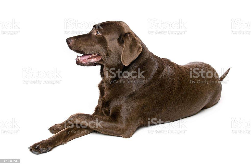 Chocolate Labrador Retriever Dog Isolated on White stock photo