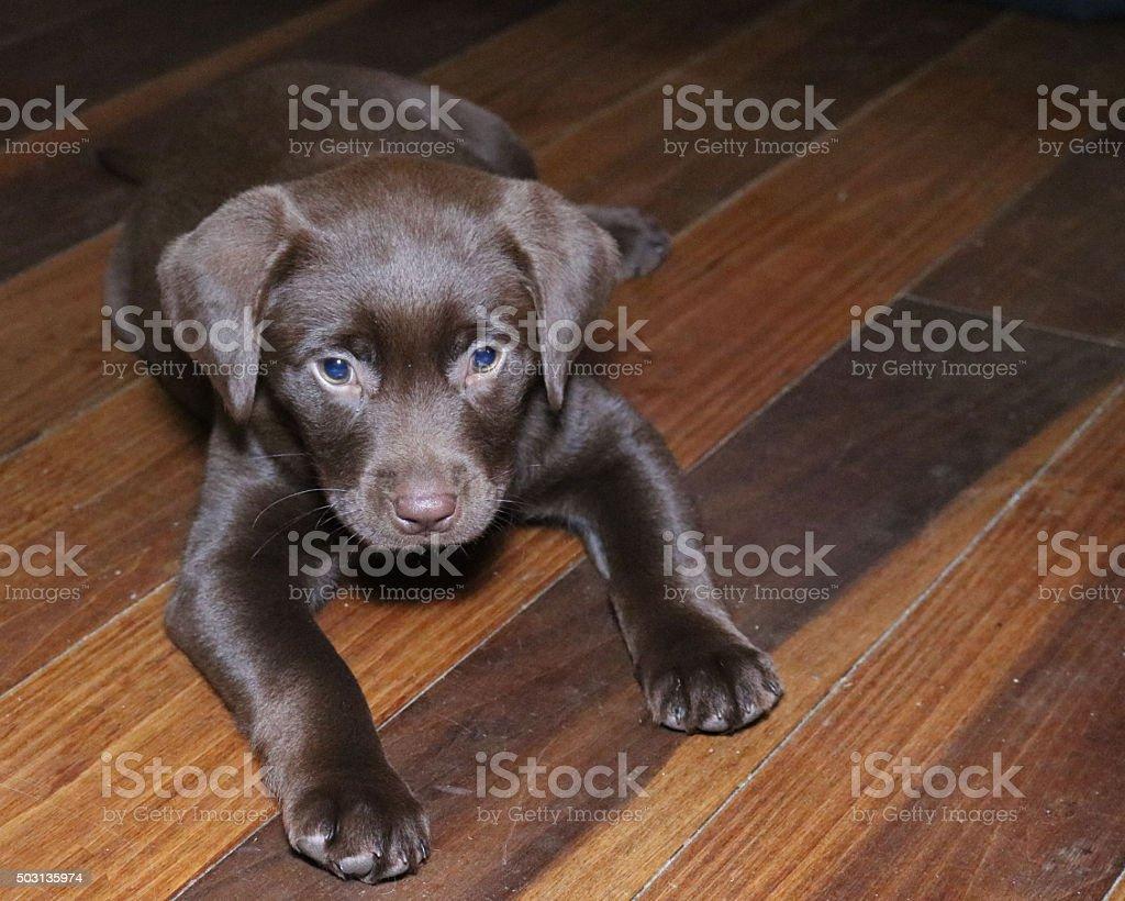 Retriever du Labrador chocolat photo libre de droits