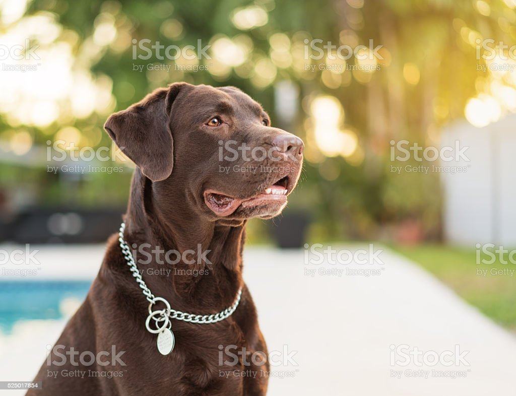 Chocolate  Labrador Retriever stock photo