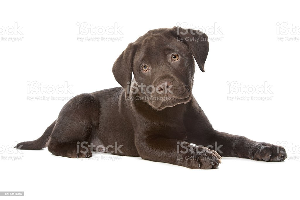 Chocolate Labrador retriever puppy on plain white background stock photo
