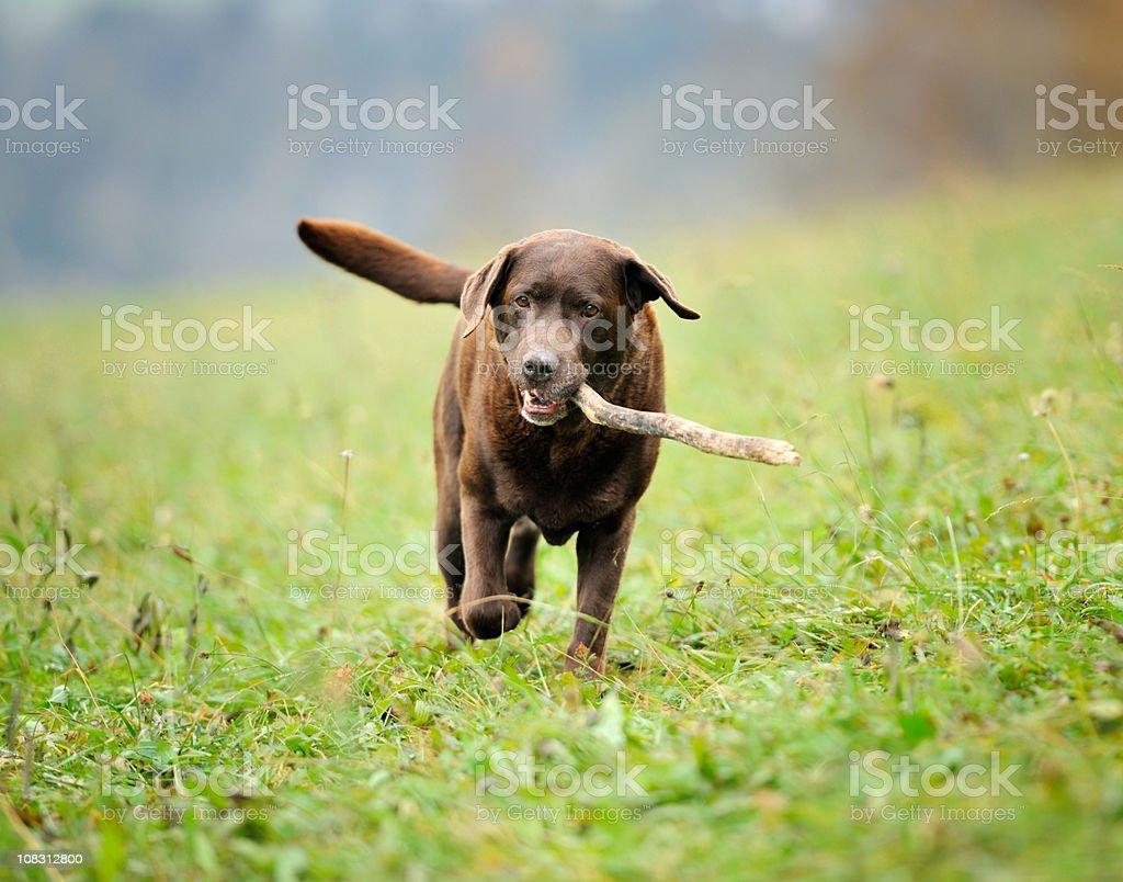 Chocolate Labrador retrieving Stick (XXXL) stock photo