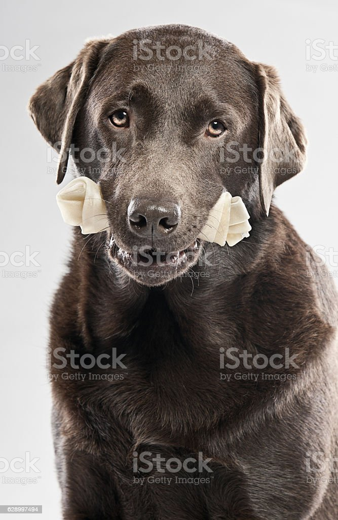 Chocolate labrador with rawhide bone stock photo