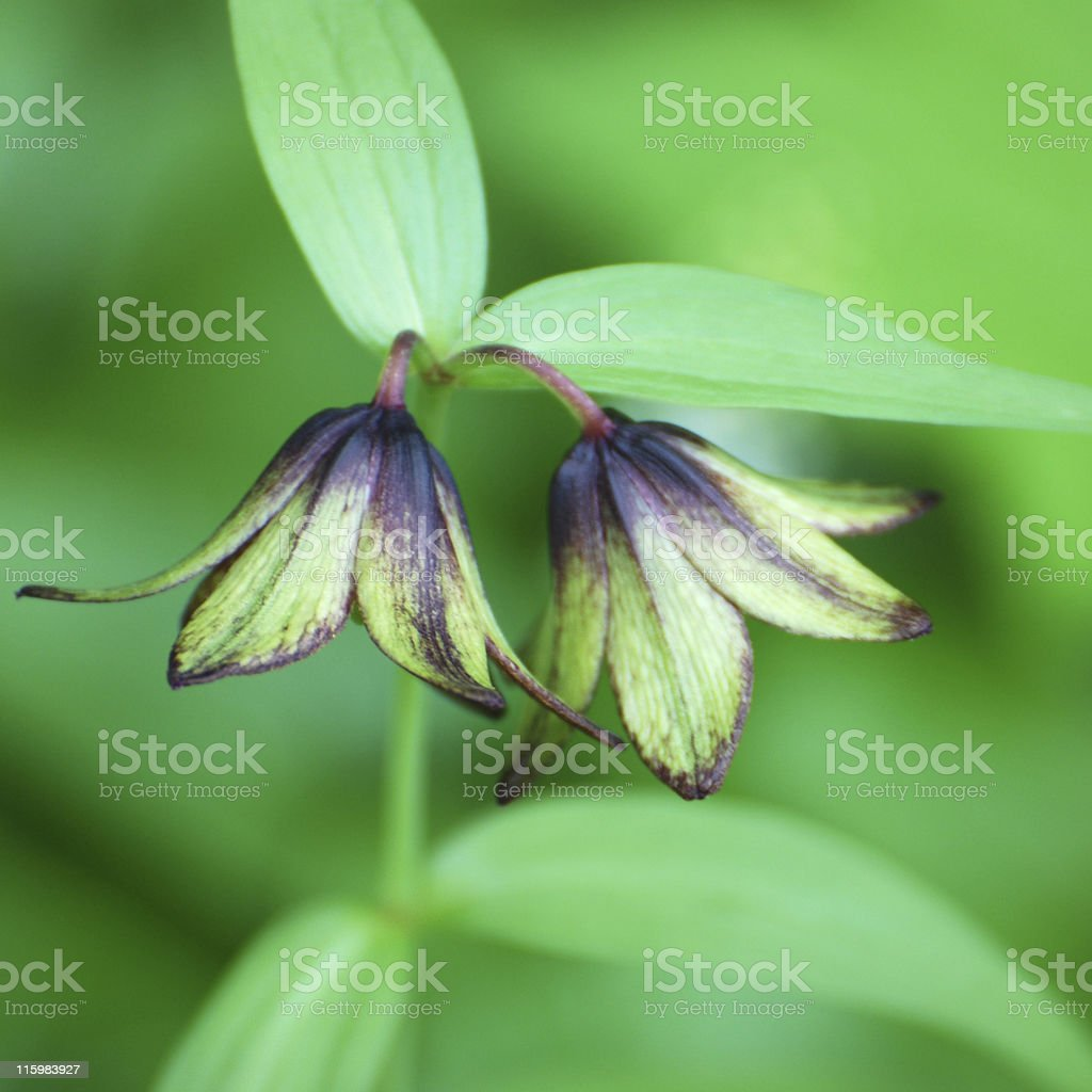 chocolate lily, Fritillaria camschatcensis, flowers and leaves stock photo