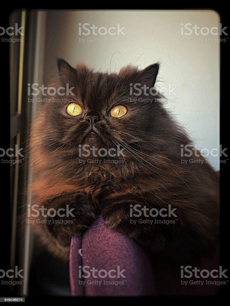 Chocolate persian cat stock photo