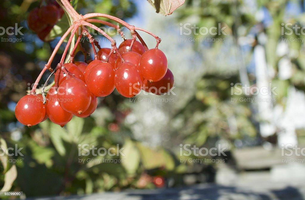 Choke Cherries stock photo