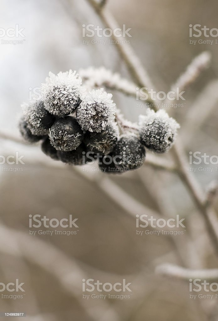 Chokeberries Covered with Frost stock photo