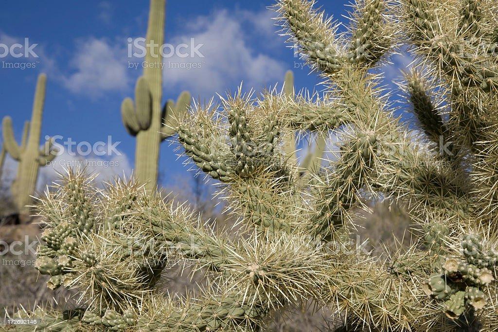 Cholla and Saguaro Cactus royalty-free stock photo