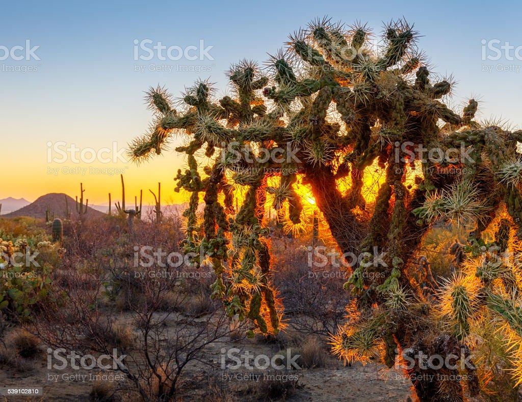 Cholla Cactus and Arizona sunset stock photo