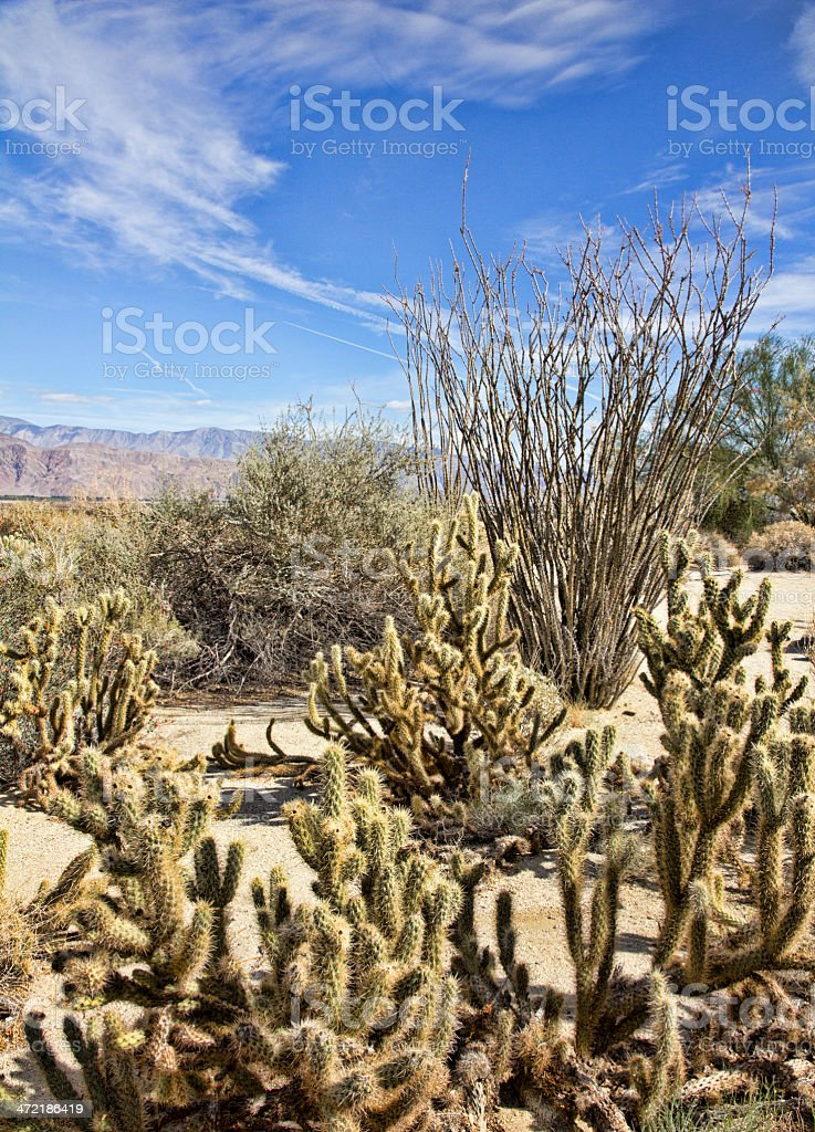 Cholla Cactus and Ocotillo in Borrego Valley royalty-free stock photo