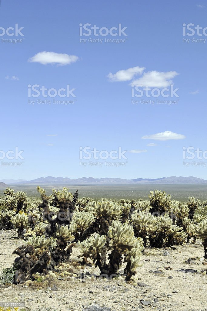 Cholla Cactus and the Sky royalty-free stock photo