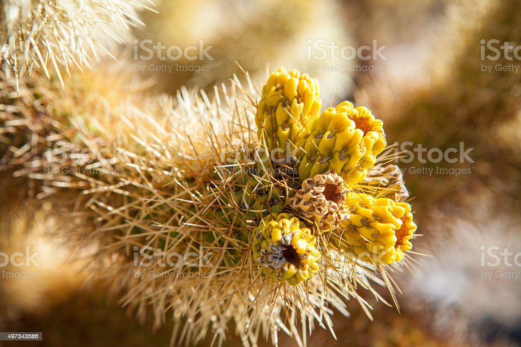 Cholla Cactus Fruit Clusters royalty-free stock photo