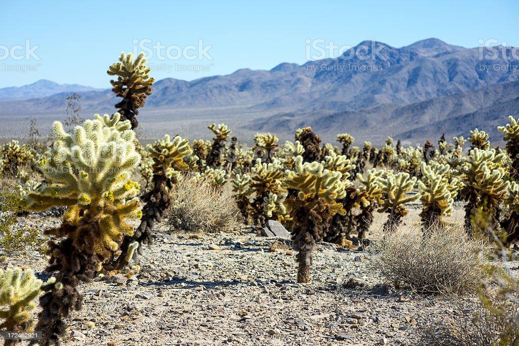 Cholla Cactus Garden in Joshua Tree National Park royalty-free stock photo