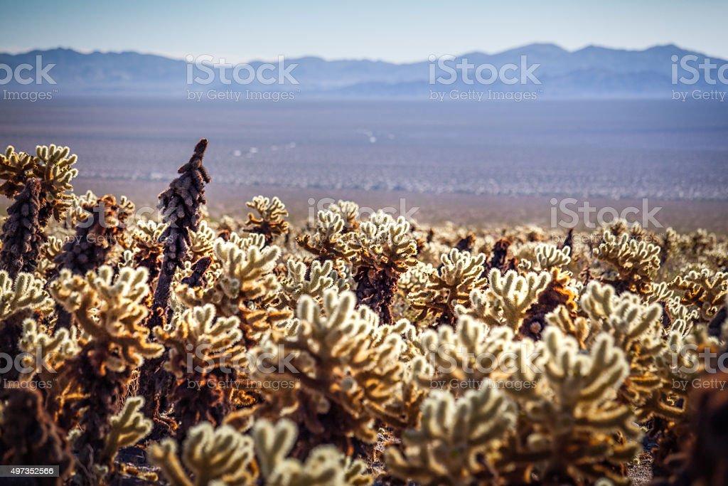 Cholla Cactus Garden, Joshua Tree National Park royalty-free stock photo