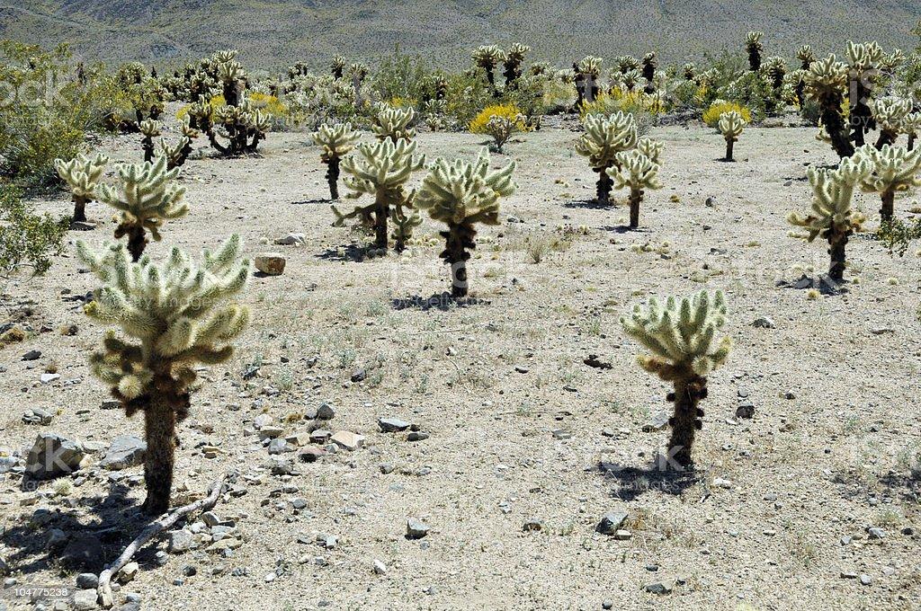 Cholla Cactus Garden royalty-free stock photo