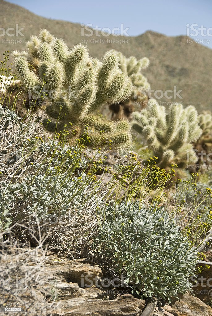 Cholla Cactus in The Mojave Desert stock photo