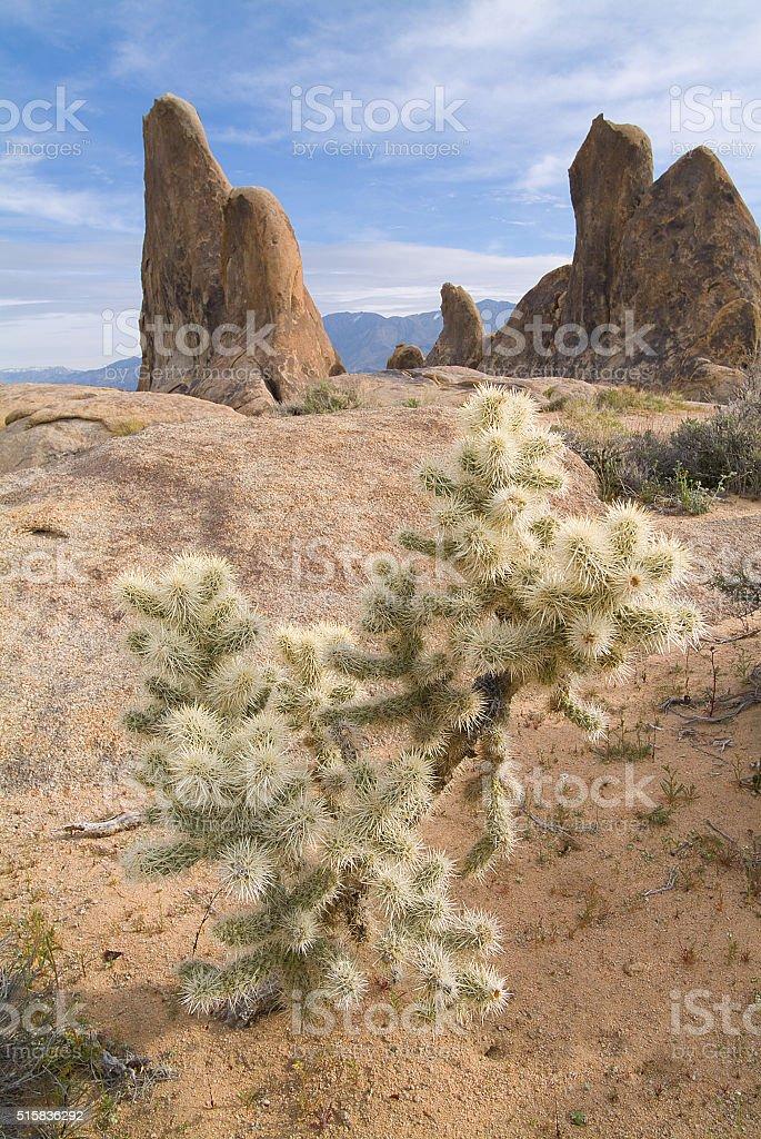 Cholla cactus or jumping cholla at the Alabama Hills, California stock photo