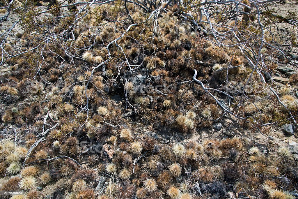 Cholla Cactus Pack Rat Midden stock photo