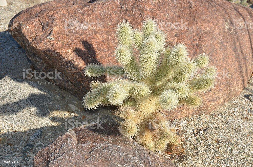 Cholla Cactus royalty-free stock photo