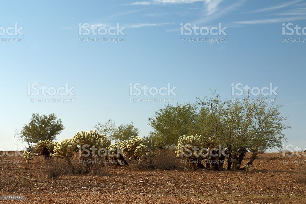 Cholla Patch with Mesquite stock photo