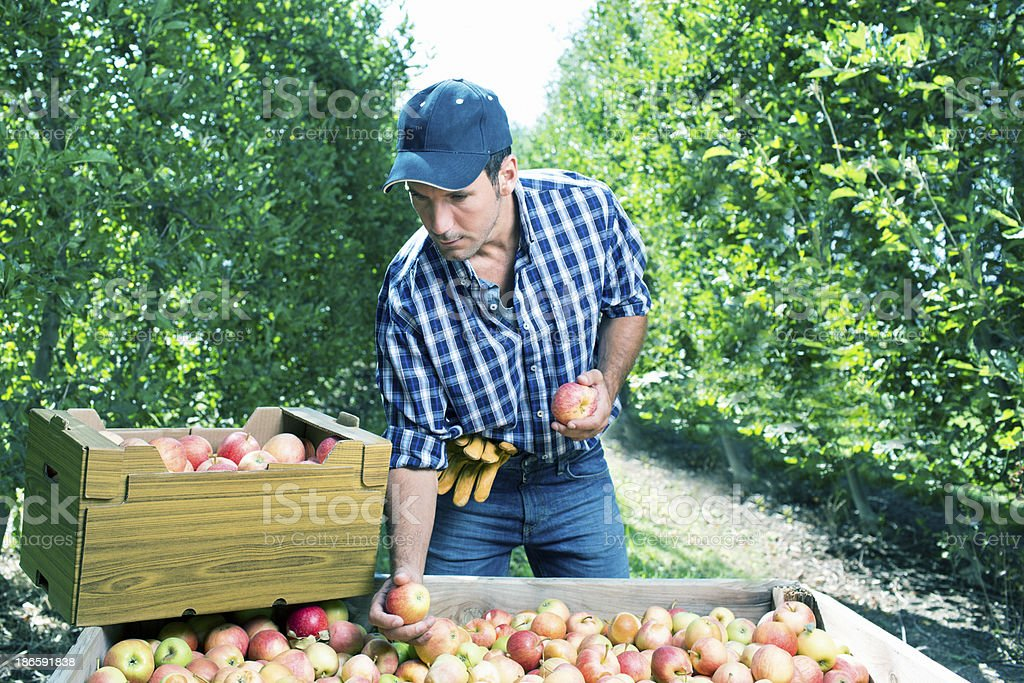 Choosing apples stock photo