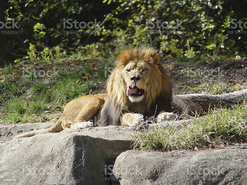 Chop-licking Lion royalty-free stock photo