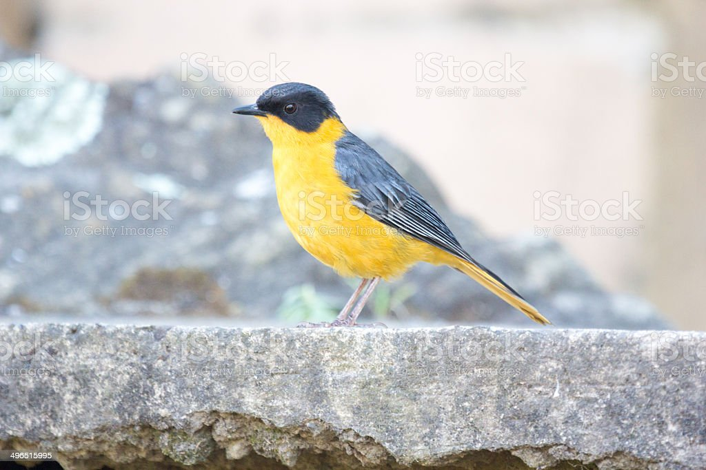 Chorister Robin-Chat in Royal Natal National Park, South Africa royalty-free stock photo