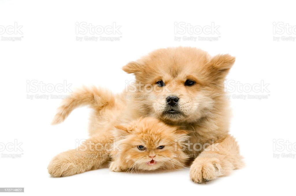 chow and persian royalty-free stock photo