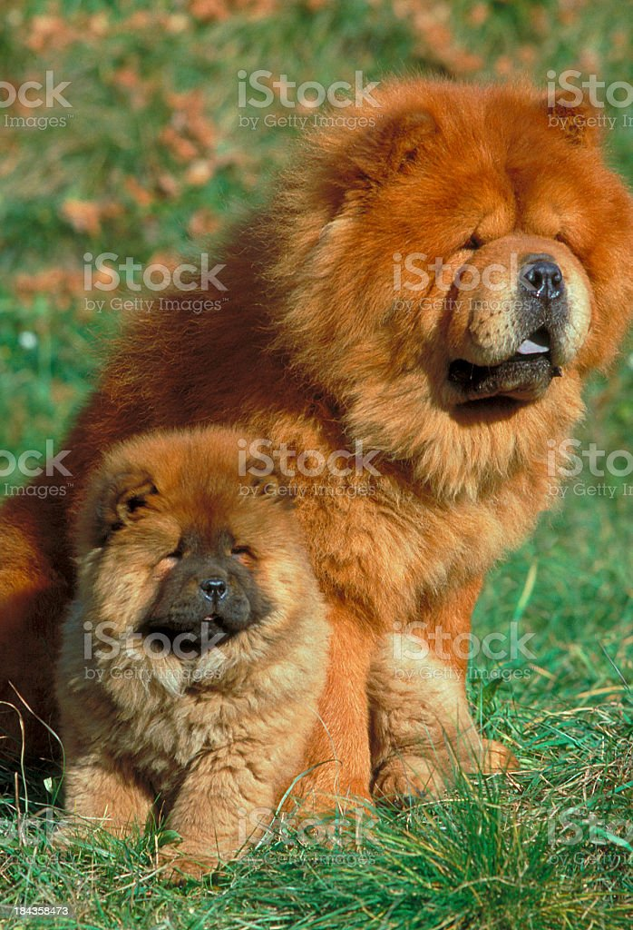 Chow chow puppy dog near his mum stock photo