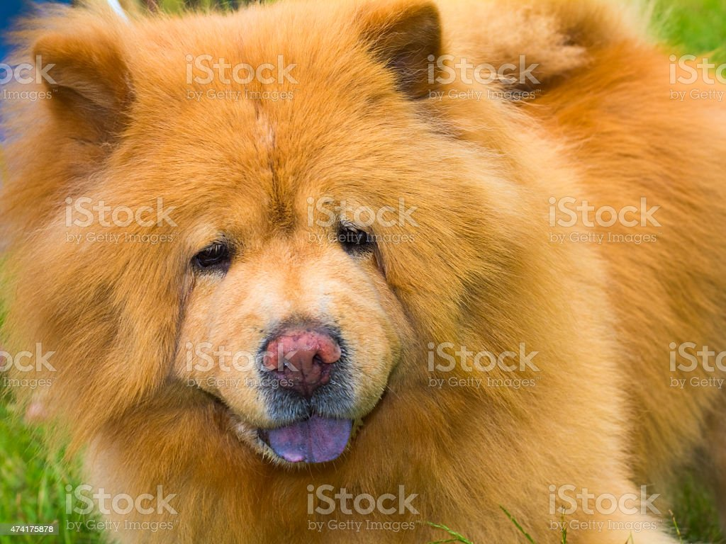 chow dog pedigreed stock photo
