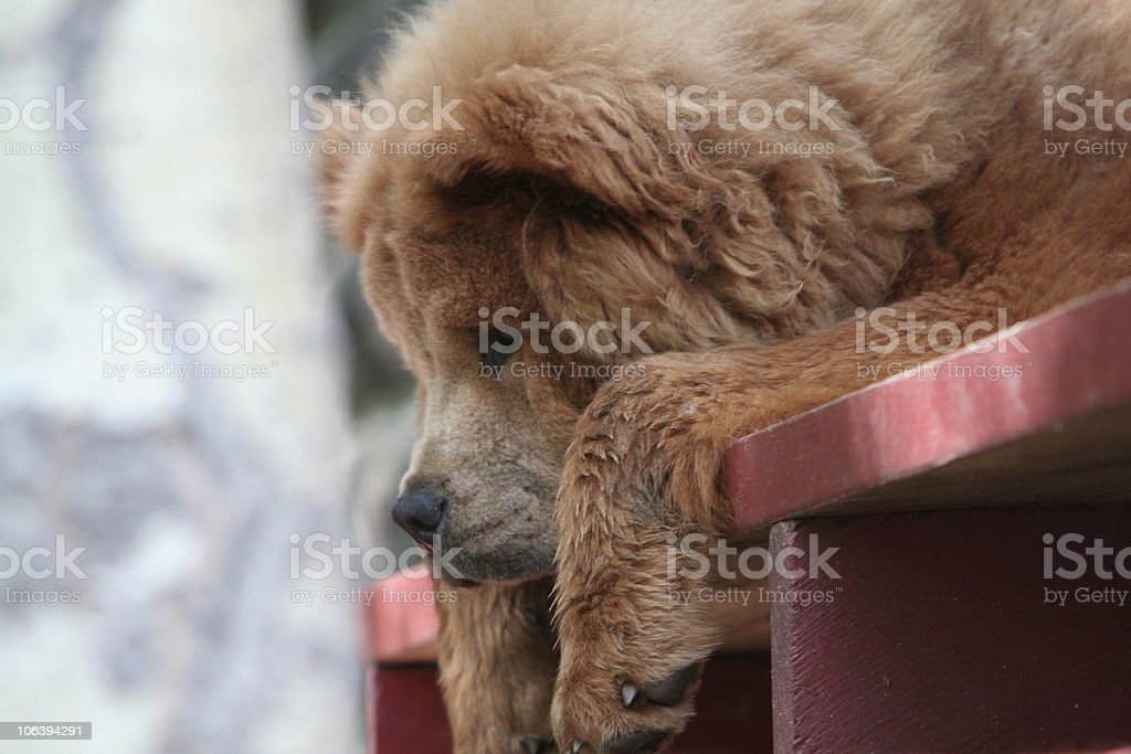 Chow Dog stock photo