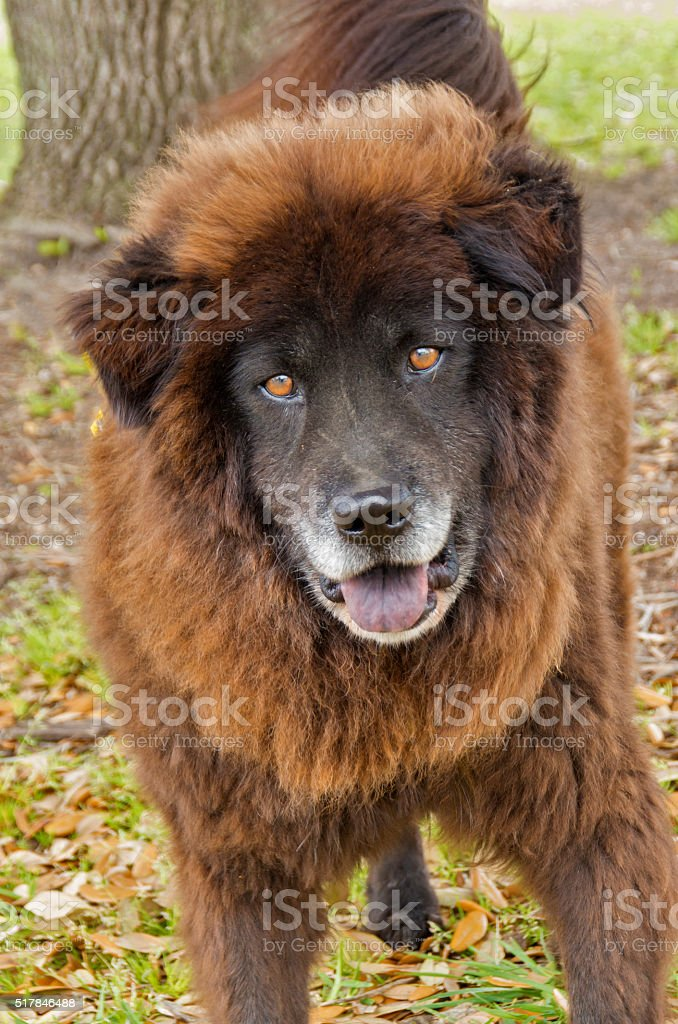 Chow Mix stock photo