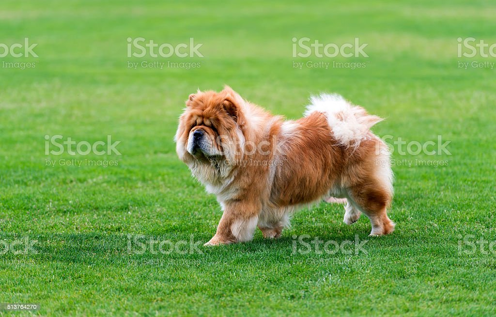 Chow-chow dod standing on the green field. stock photo