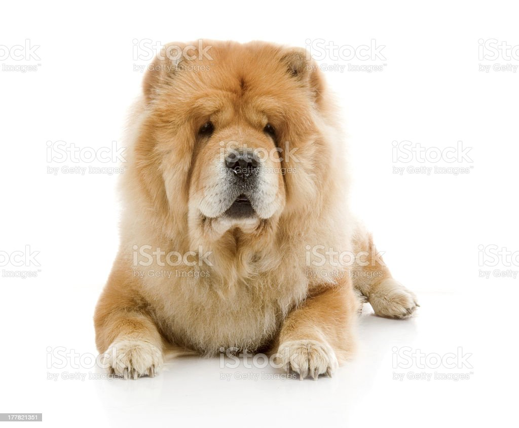Chow-Chow dog in studio royalty-free stock photo