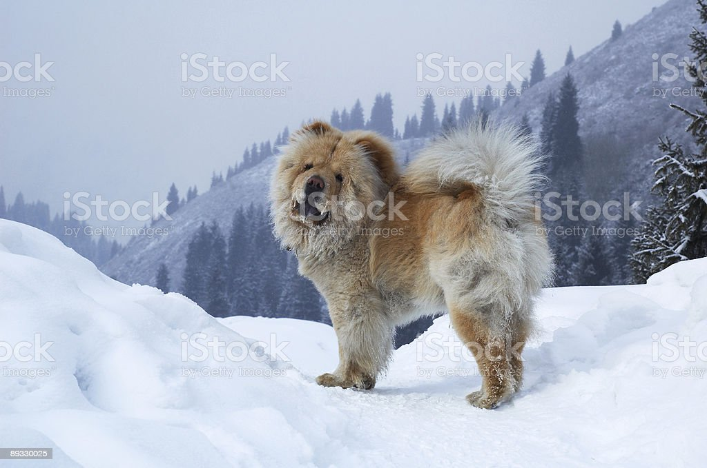 Chow-chow dog on winter mountain stock photo