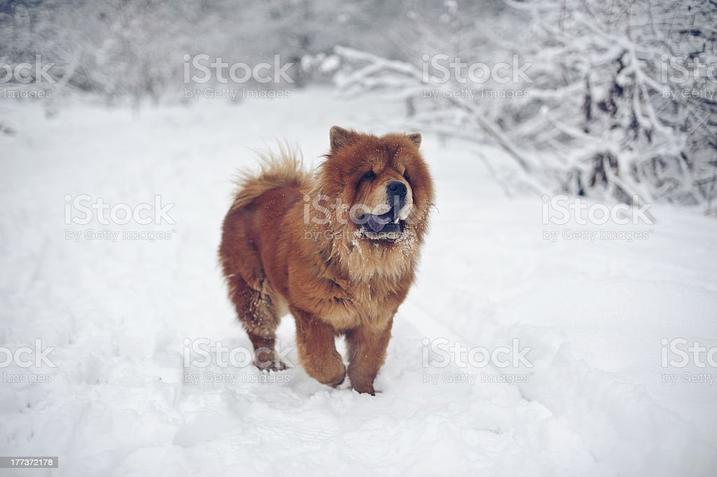 Chow-chow dog on winter stock photo
