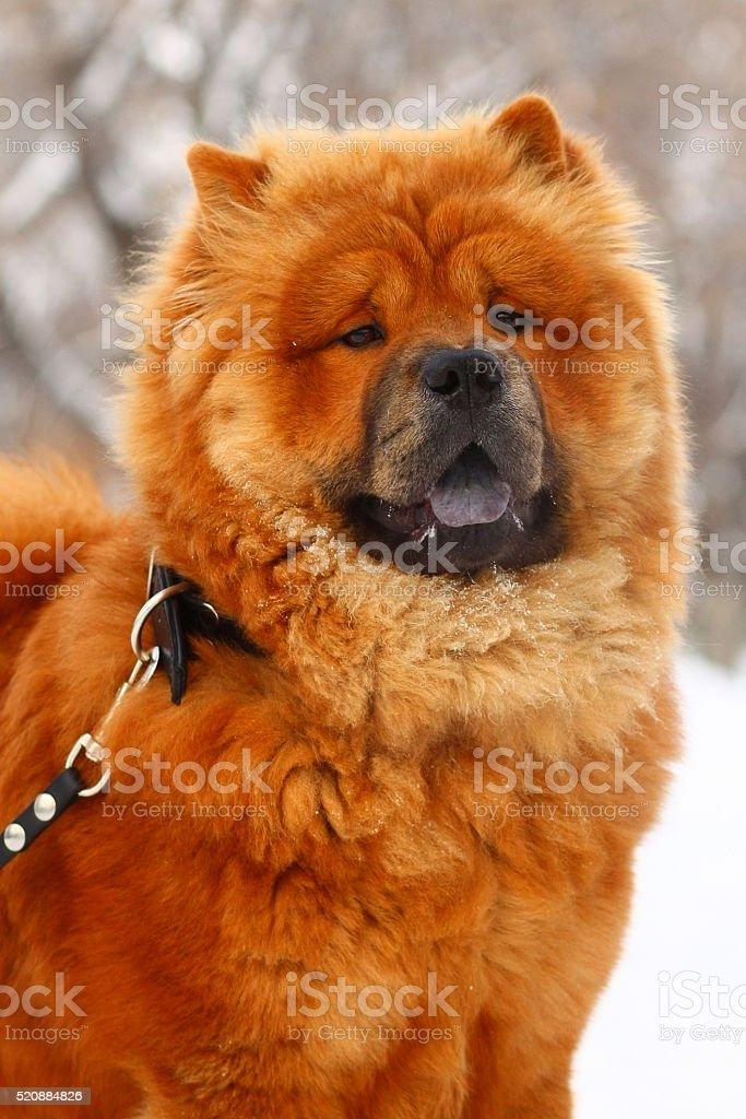 Chow-chow in the winter stock photo
