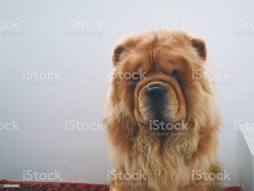 Chow-chow look at you stock photo