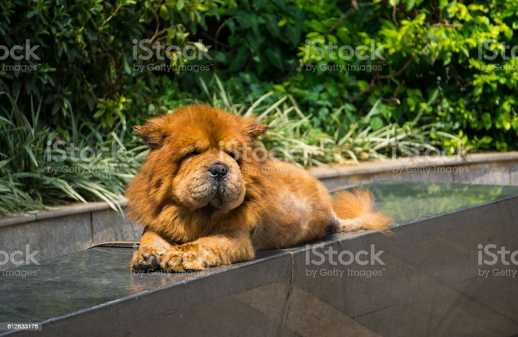 Chowchow looking like a lion stock photo