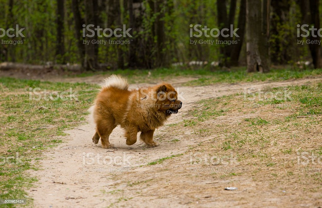 chow-chow on walk stock photo