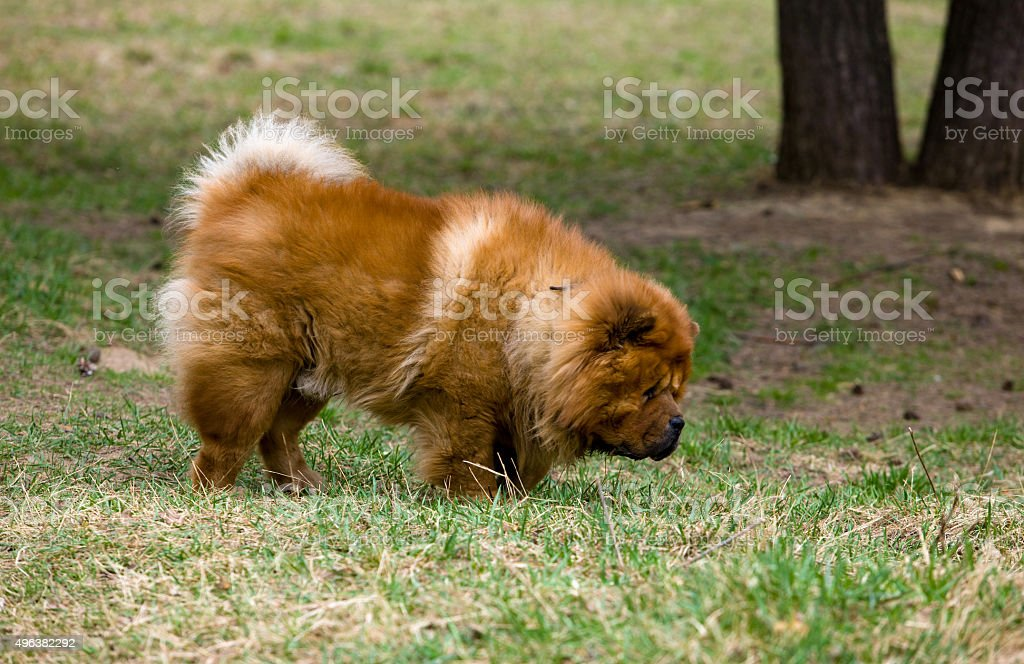 chow-chow stock photo