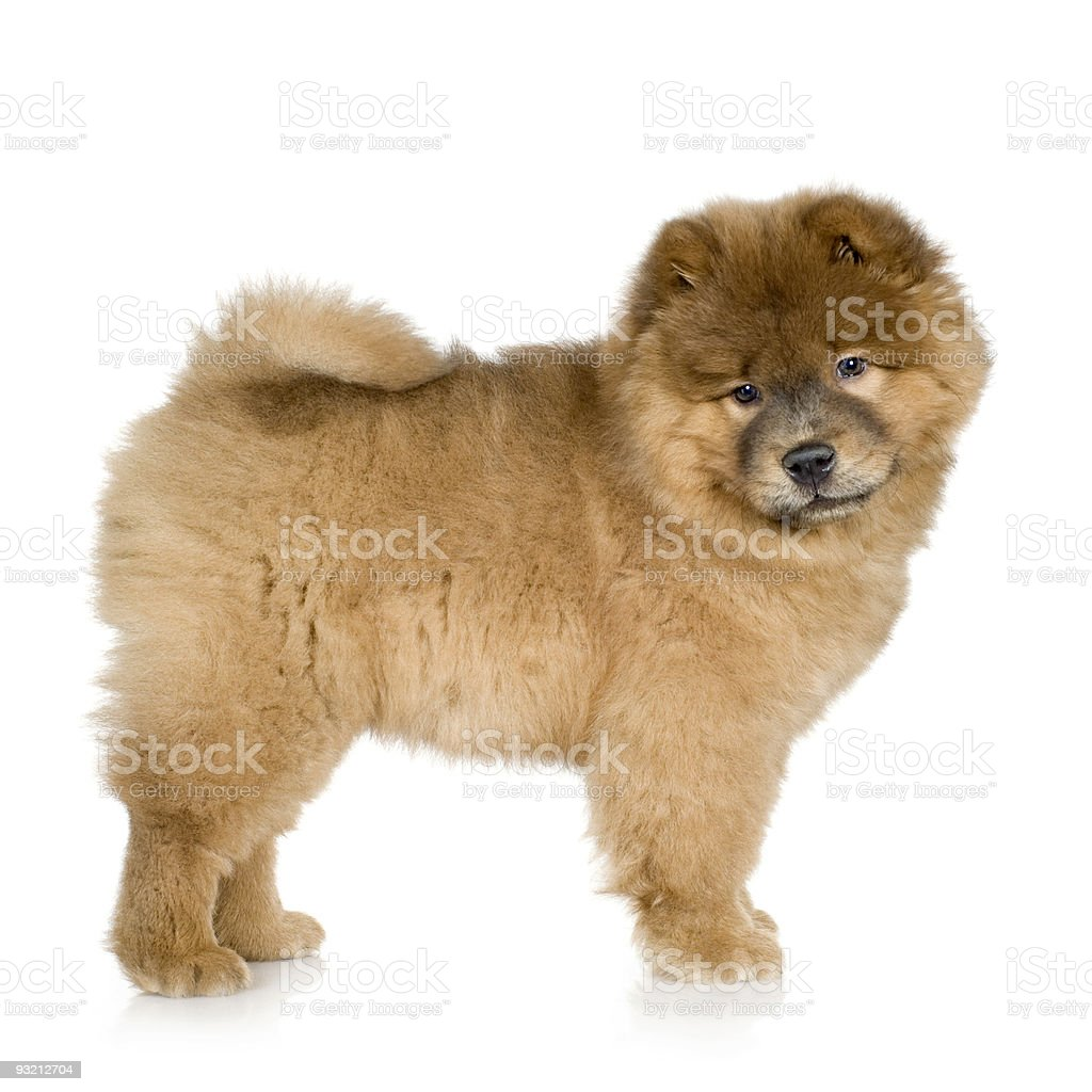 Chow-chow (3 months) stock photo