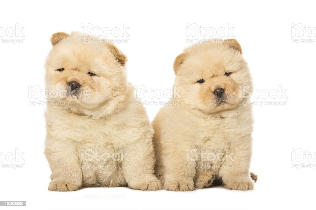 chow-chow puppies stock photo