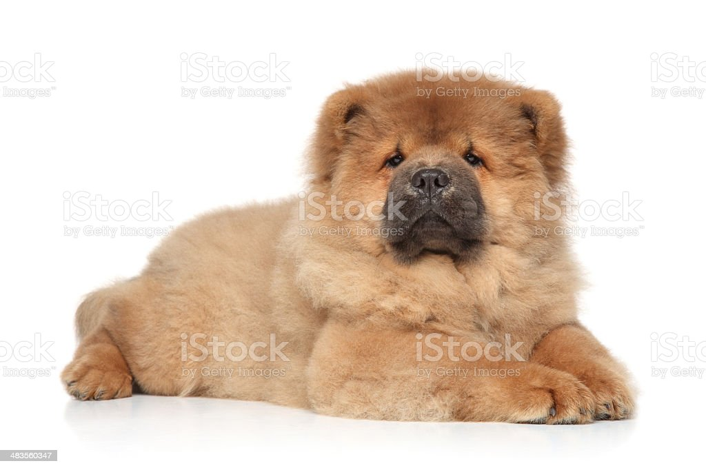Chow-chow puppy lying on white background stock photo