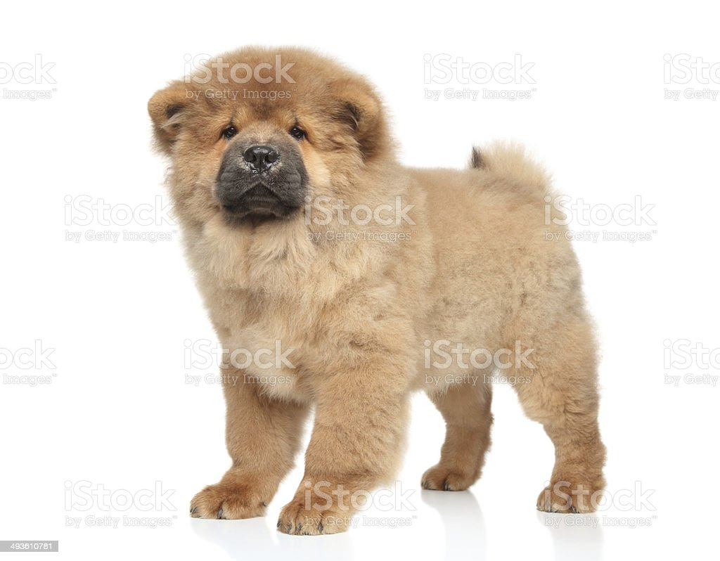Chow-chow puppy stock photo