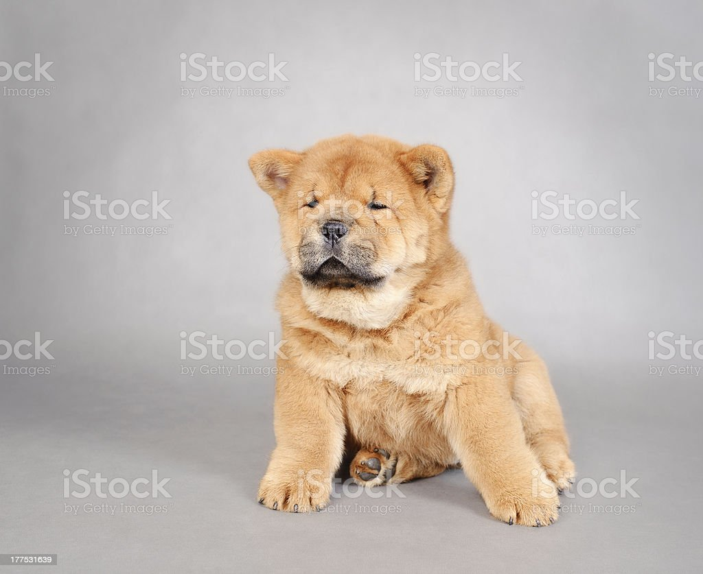 Chowchow  puppy portrait royalty-free stock photo