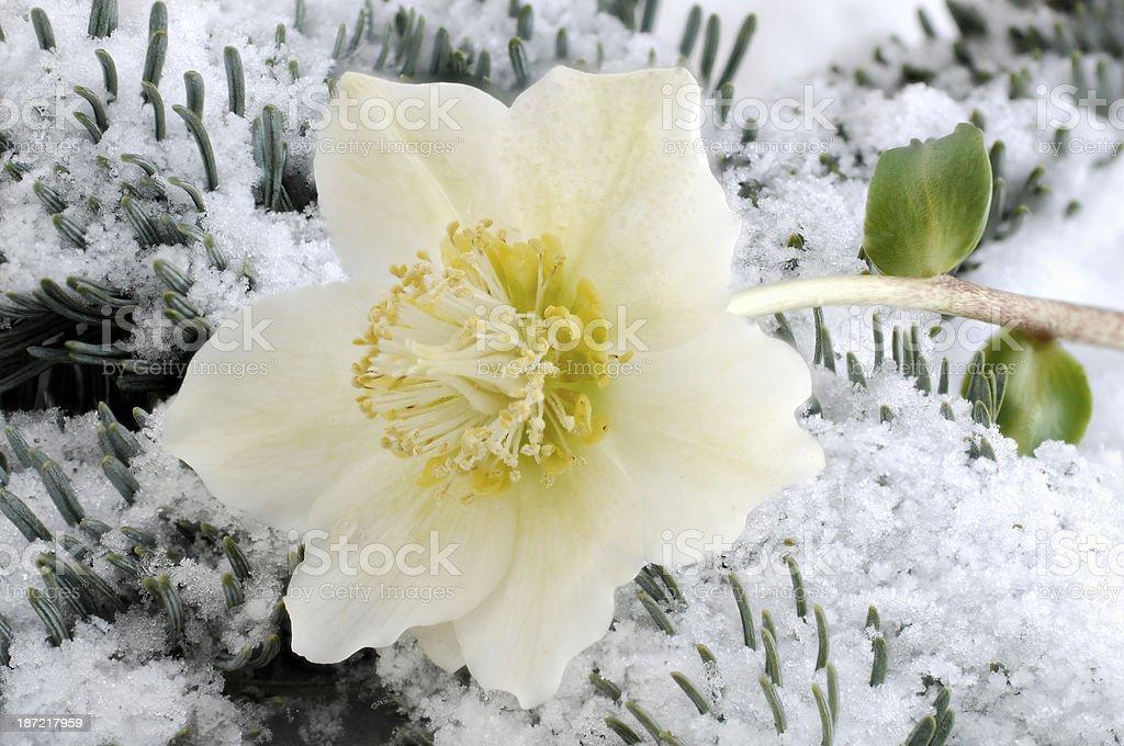Christ rose on snow stock photo