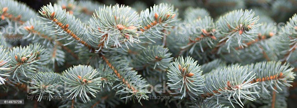 Christmas background. fir tree. stock photo
