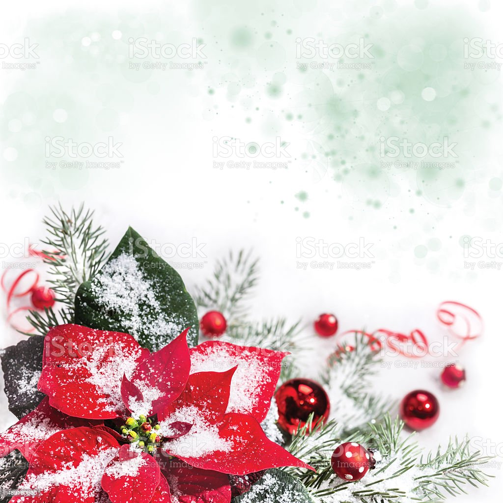 Christmas background with poinsettia, text space stock photo
